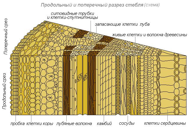 Разрез стебля