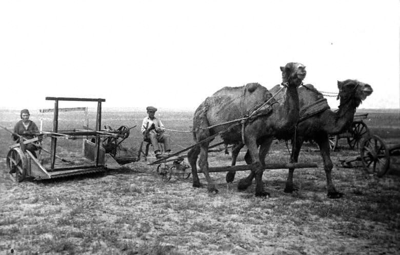 СССР, сенокос на верблюдах